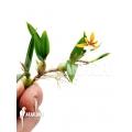 Orchidee 'Coelogyne lentiginosa x monilirachis'