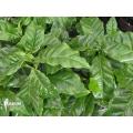 Kaffeepflanze 'Coffea arabica' (M)