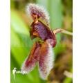 Orchidee 'Condylago rodrigoi'