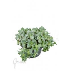 Crassula montana