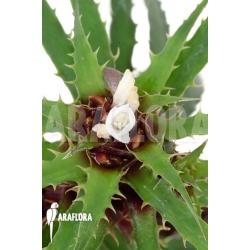 Cryptanthus microglazioui 'Starter'