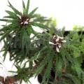 Bromelien 'Cryptanthus microglaziovii' starter