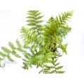 Baumfarn 'Cyathea australis' 'Starter'