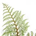 Baumfarn 'Cyathea tomentosissima' (S)