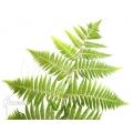 Baumfarn 'Cyclosorus acuminata' (treefern)