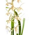 Orchidee 'Cymbidium sinense 'Lan Kiem''