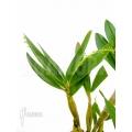 Orchidee 'Dendrobium chrysotoxum' starter