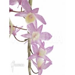 Dendrobium pierardii x loddigesii flower