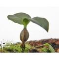 Orchidee 'Dendrobium tetragonum'