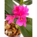 Orchidee 'Dendrobium x Hibiki'