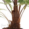 Baumfarn 'Dicksonia squarrosa'