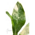 Dieffenbachia BigBen variegata ara