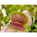Venusfliegenfalle 'Dionaea muscipula 'B-52' starter