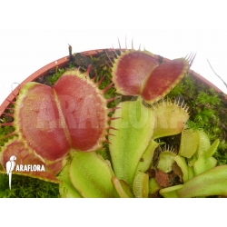 Dionaea muscipula Backtrack