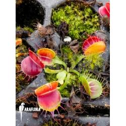 Dionaea muscipula 'Bloody square' Starter