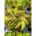 Venusfliegenfalle 'Dionaea muscipula 'Cluster traps' starter'
