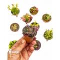 Venusfliegenfalle Dionaea muscipula 'Collectors Package'