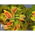 Venusfliegenfalle 'Dionaea muscipula 'Cracker' starter'