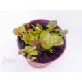 Venusfliegenfalle 'Dionaea muscipula 'Cup trap'