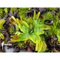 Venusfliegenfalle 'Dionaea muscipula 'Dentate' starter