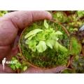 Venusfliegenfalle 'Dionaea muscipula 'Dr no trap' starter'