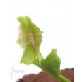 Venusfliegenfalle 'Dionaea muscipula 'Freaky star' starter'