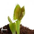 Venusfliegenfalle 'Dionaea muscipula 'Fused tooth'