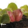 Venusfliegenfalle 'Dionaea muscipula 'Galaxy'