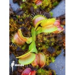 Dionaea muscipula 'Galaxy' example no Starter