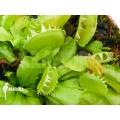 Venusfliegenfalle 'Dionaea muscipula 'Green dog'