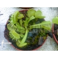 Venusfliegenfalle 'Dionaea muscipula 'Green dog' 'M'