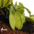 Venusfliegenfalle 'Dionaea muscipula 'Green voodoo'