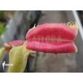 Venusfliegenfalle 'Dionaea muscipula 'Hot kiss'