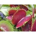 Venusfliegenfalle 'Dionaea muscipula 'Jumbo' 'XL'