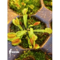 Dionaea muscipula 'Kinky Wave' 'Starter'