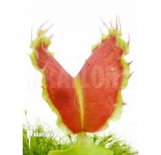 Flytrap Venusfliegenfalle