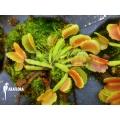 Venusfliegenfalle 'Dionaea muscipula Pacman starter'