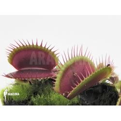 Dionaea muscipula 'Poland red'