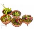 Venusfliegenfalle Dionaea muscipula 'Rare Starter Package 5'