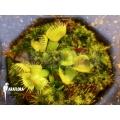 Venusfliegenfalle 'Dionaea muscipula spiderman starter'