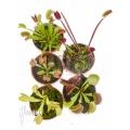 Venusfliegenfalle Dionaea muscipula 'Starter 5 Package'