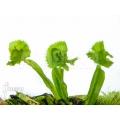 Venusfliegenfalle 'Dionaea muscipula 'Tremor'