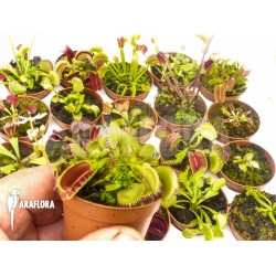 Dionaea muscipula Venusflytrap20 Starter Collection Package