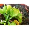 Venusfliegenfalle Dionaea muscipula 'Werewolf Ara' starter