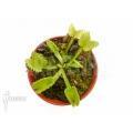 Venusfliegenfalle 'Dionaea muscipula 'Werewolf' 'Starter''