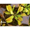 Venusfliegenfalle 'Dionaea muscipula 'Whale' starter