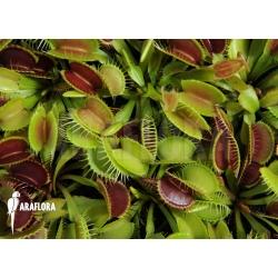 Dionaea muscipula 'Young plants'