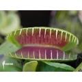 Venusfliegenfalle 'Dionaea muscipula 'Jaws smiley' starter'