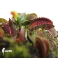 Venusfliegenfalle 'Dionaea muscipula 'Red piranha' starter