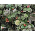 Ameizenpflanze 'Dischidia astephana'